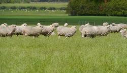 Australian sheep on the fields of Victoria in Australia