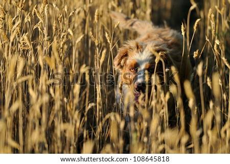 Australian shepard in field of wheat