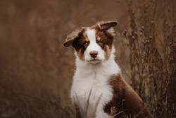 australian shepher puppy portrait outdoors in autumn