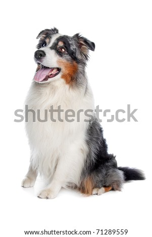 Australian Shepherd ,Aussie - stock photo