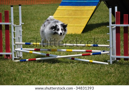 Australian Shepherd (Aussie) leaping over a double jump at dog agility trial, copy space, horizontal