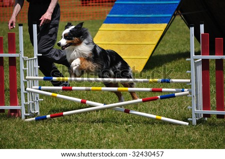 Australian Shepherd (Aussie) leaping over a double jump at dog agility trial, copy space, vertical