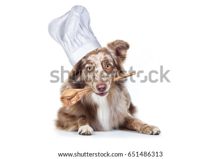 Australian Shepherd dog breed is hungry with cooking spoon in mouth and cooking cap on head cook