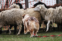 Australian shepherd dog herds sheep. Sports standard for dogs on the presence of herding instinct. Beautiful and smart adult red merle aussie on the farm.