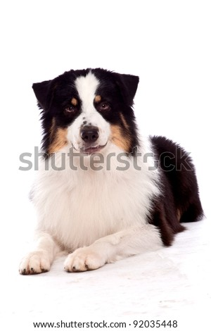 Australian Shepherd dog laying down looking at the camera with a grin