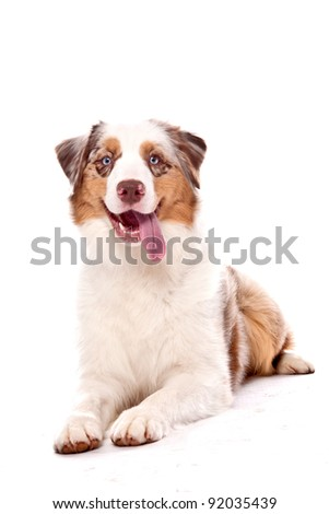 Australian Shepherd dog laying down looking at the camera with a smile