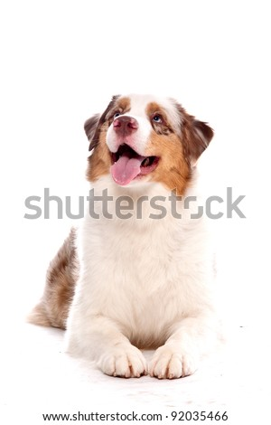 Australian Shepherd dog laying looking up with a smile
