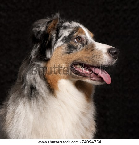 Australian Shepherd dog, 10 months old, in front of black background