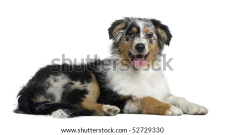 Australian Shepherd dog, 4 months old, in front of white background