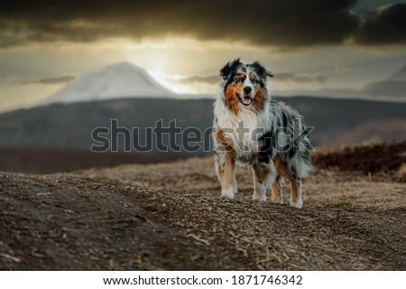 Australian shepherd dog on the background of the sunset in autumn Photo stock ©