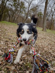 Australian Shepherd Dog playing with a toy in the spring park with the owner. Happy Aussie walks at outdoors sunny day.