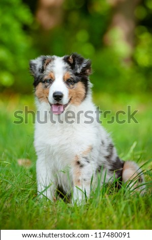australian shepherd dog puppy