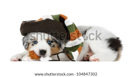 Australian shepherd dog (puppy) in studio, wearing a hat