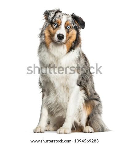 Australian Shepherd dog sitting against white background #1094569283