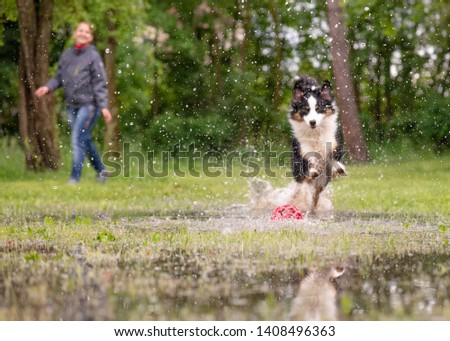 Australian Shepherd Dog with owner playing on green grass at park. Happy Woman and wet Aussie run on watery meadow after rain, water sprinkles. Selective focus on toy. #1408496363