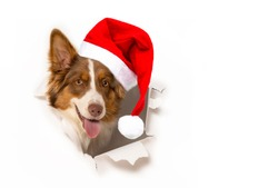 Australian Shepherd dog with santa cap photographed in  a paper hole