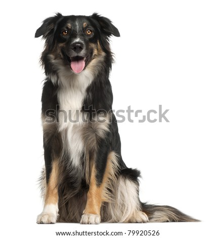 Australian Shepherd dog, 1 year old, sitting in front of white background - stock photo