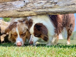 Australian shepherd dogs sniffing under logs, closeup, canine enrichment