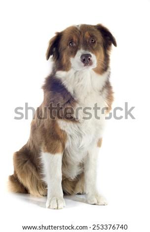 australian shepherd in front of white background #253376740