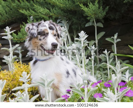 Australian Shepherd ina bed of flowers