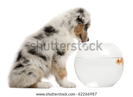 australian shepherd looking at Goldfish, Carassius Auratus, swimming in fish bowl in front of white background
