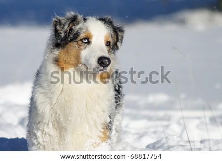 australian shepherd on the snow