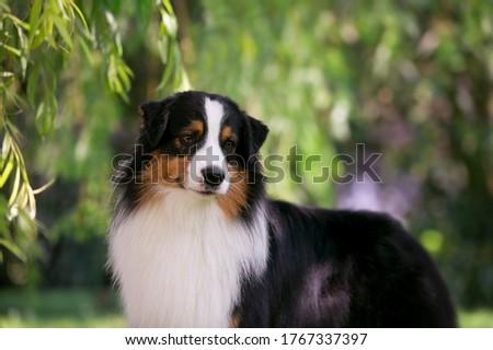 Australian shepherd portrait of dog show quality dog. From kennel Diamond Rush, based in Czech Republic Stockfoto ©