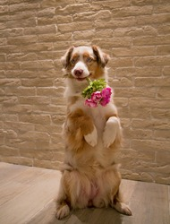 Australian shepherd posing with pink flowers in the mouth. Dog holding a bouquet in the mouth.