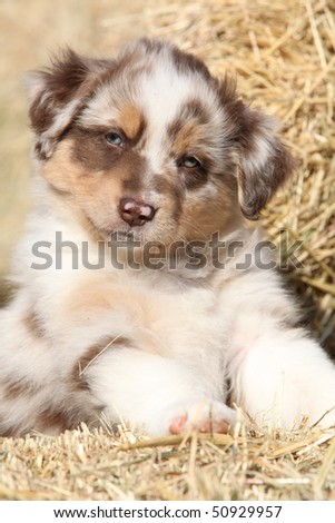 Picture Of Puppy Australian Shepherd Stock Image To Download At