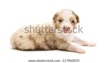 Australian Shepherd puppy, 22 days old, lying and portrait against white background