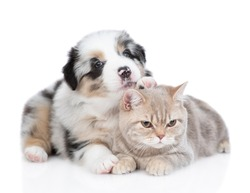 Australian shepherd puppy hugs and sniffs british cat. isolated on white background