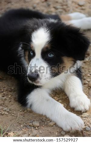 Australian shepherd puppy lying down/black, white and brown with light ...