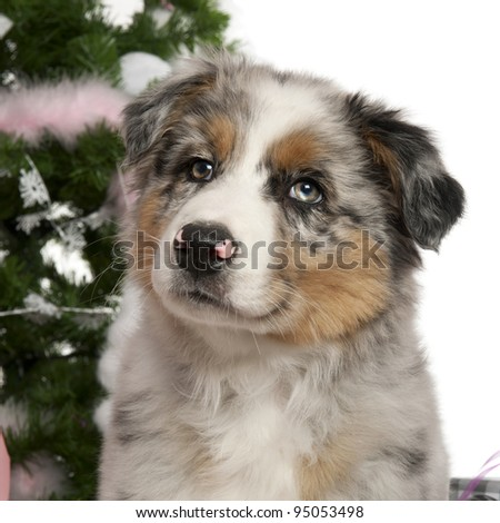 Australian Shepherd puppy, 2 months old, with Christmas tree and gifts ...