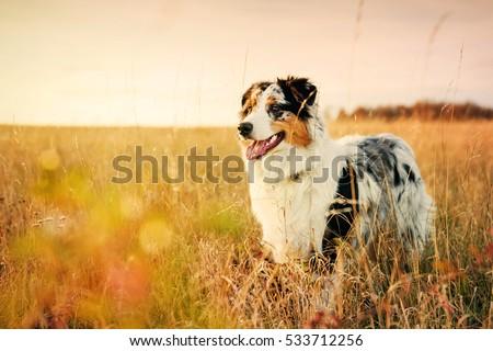 australian shepherd puppy on a...