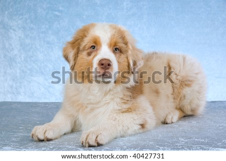 Australian Shepherds Image Stock Picture To Download At Featurepics ...