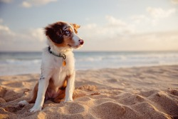australian shepherd puppy playing with owner and other dogs on the beach and in the grass