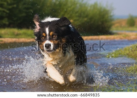 Australian Shepherd runs through water