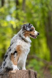 Australian Shepherd standing on treetrunk