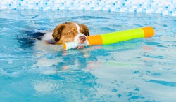 Australian shepherd swimming in the pool holding a toy