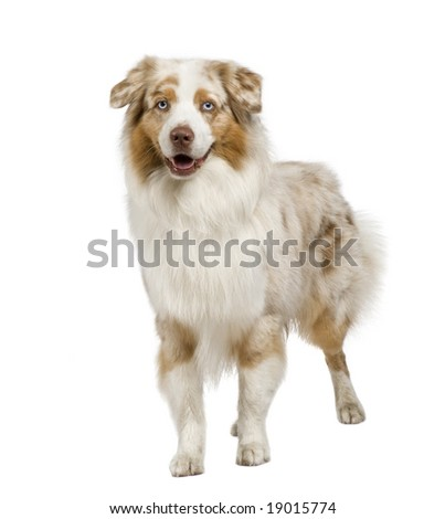 australian shepherd (3 years) in front of a white background #19015774