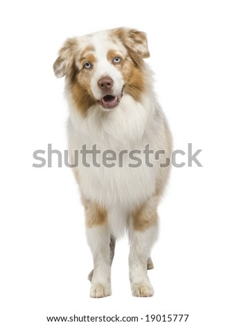 australian shepherd (3 years) in front of a white background #19015777