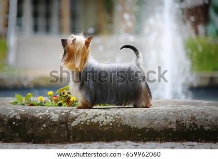 Australian Silky Terrier - Ch. Dress Code Silk of Bohemia  #659962060
