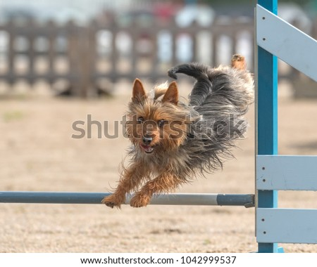 Australian Silky Terrier jumps over an agility hurdle in agility competition #1042999537