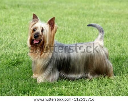 Australian Silky Terrier on the green grass lawn #112513916