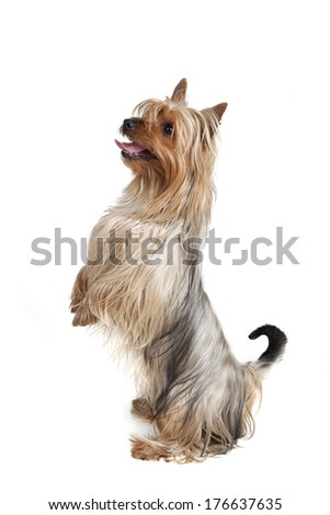 Australian Silky Terrier on white background  #176637635