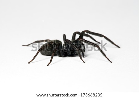 Australian small black house spider, isolated on white