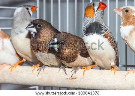 Australian sparrows, finches