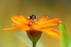 Australian Stingless Native Bee On A Flower