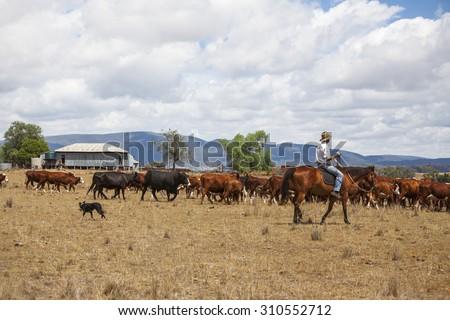 Australian stock man with cattle