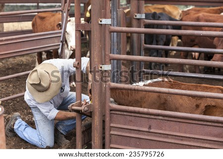Australian stockman checking cattle